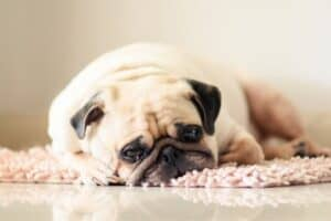 Pug Sleeping on Rug