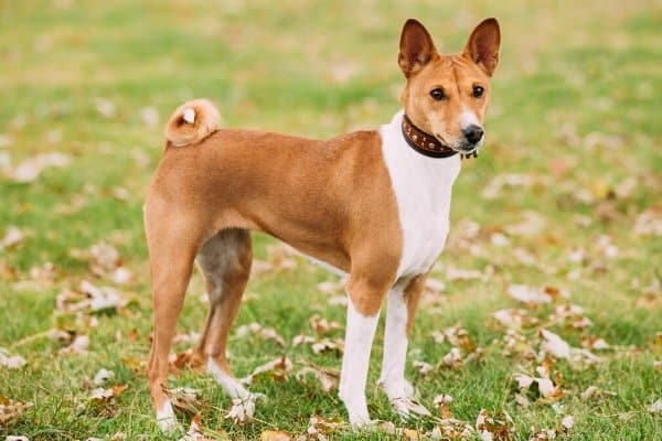 Red & White Basenji standing in grass