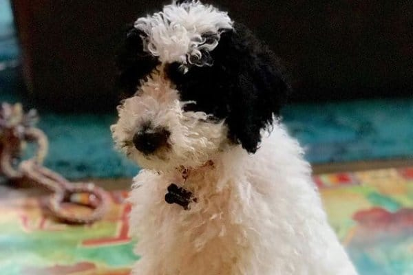 Sheepadoodle puppy sitting on a rug
