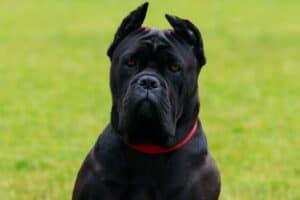 Black Cane Corso
