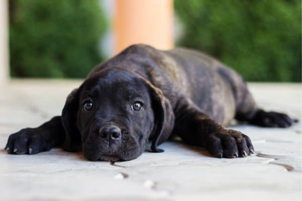 Cane Corso Puppy Laying Down