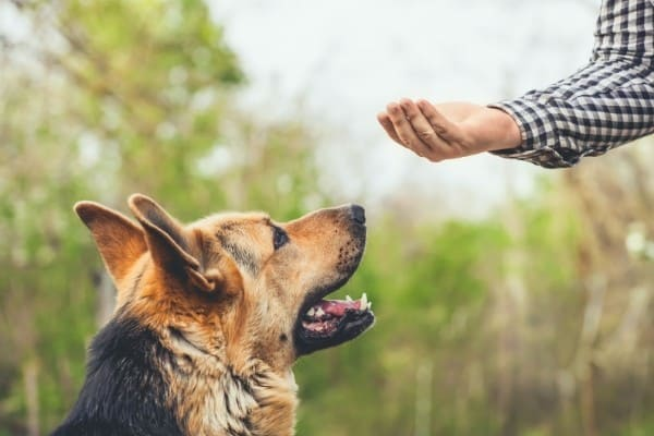 German Shepherd Being Trained