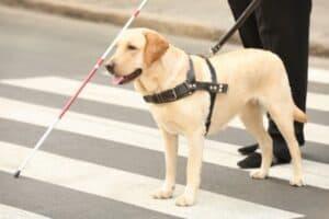 Labrador guide dog guiding a blind person across the street.