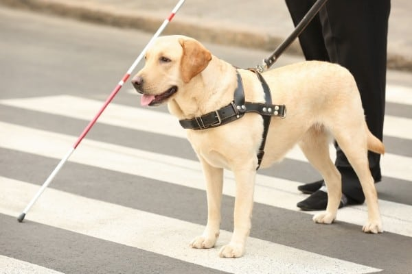 Labrador guide dog guiding a blind person across the street.