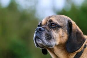 Older Puggle with gray face hair
