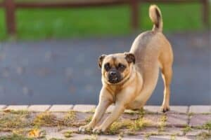 A Puggle stretching outside