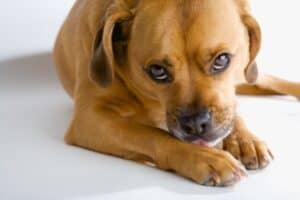 Puggle puppy licking his paw