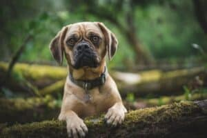Puggle in woods with paws on tree stump