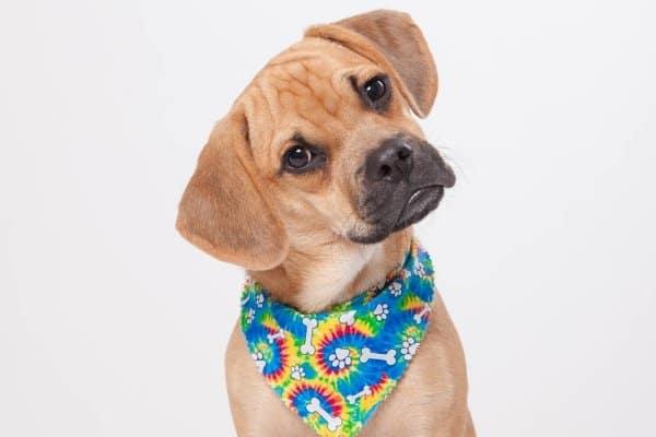 Puggle wearing a tie dye bandana