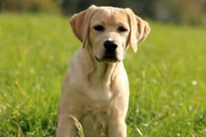 Young yellow Lab in tall grass
