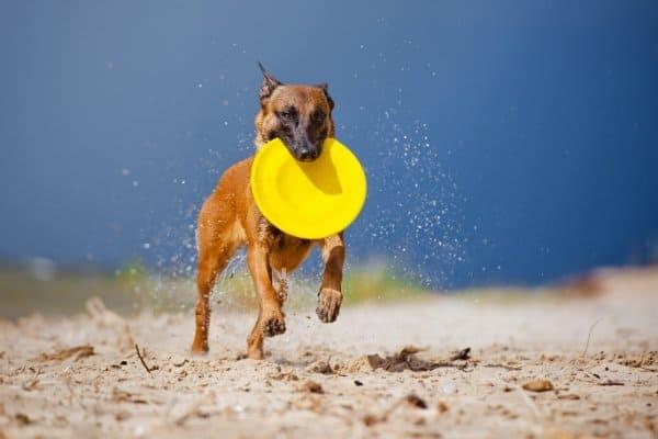 Belgian Malinois on the beach playing Frisbee.