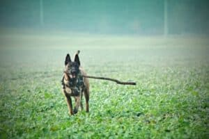 Belgian Malinois running through the mist with a large stick.