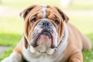 Brown and white English Bulldog lying on green grass.