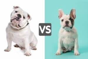 A white English Bulldog with white background and a white and brown French Bulldog with light blue background.