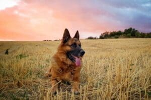 German Shepherd relaxing in a field at sunset.