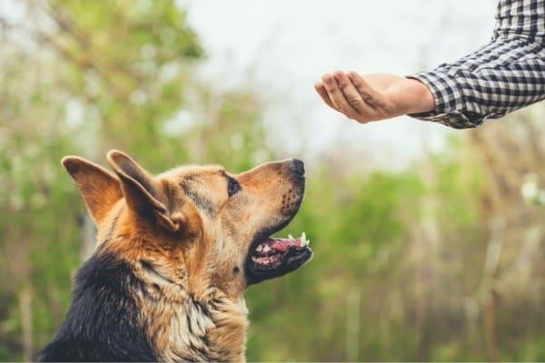 German Shepherd focusing on human hand while training.