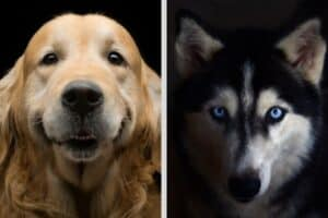 Head shot of Golden Retriever on the left beside head shot of Siberian Husky on the right.