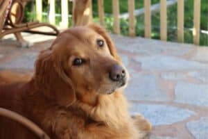 Golden Retriever resting on outdoor patio.