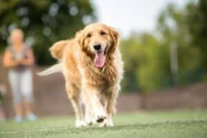 Front view of happy, panting Golden Retriever walking outside.