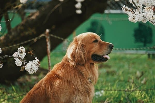 Golden Retriever sitting outside with several flower blossoms surrounding him.