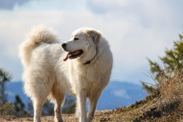 Great Pyrenees dog with glimpse of mountains in the background.