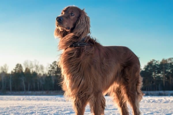 Irish Setter standing in a snow-covered field.