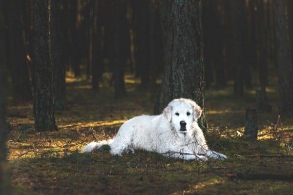Kuvasz resting in a dark forest.