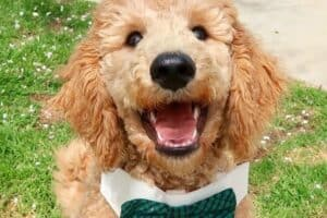 Golden-colored Labradoodle wearing a green bow tie.
