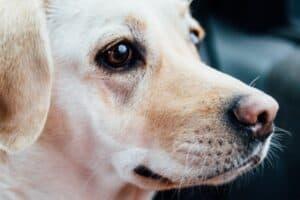 Labrador with Pink Nose