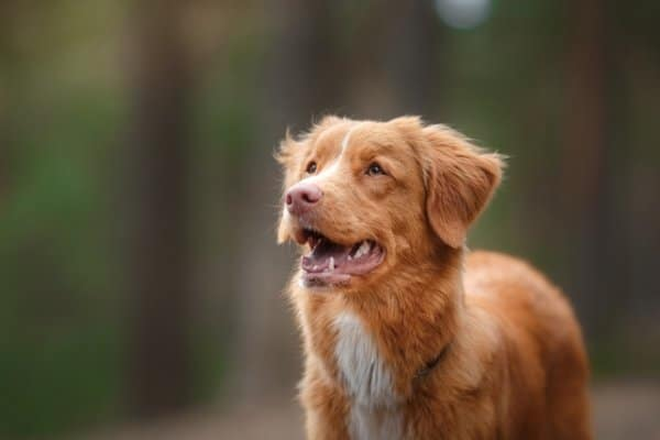 Nova Scotia Duck Tolling Retriever standing outside with a look of concentration on his face.