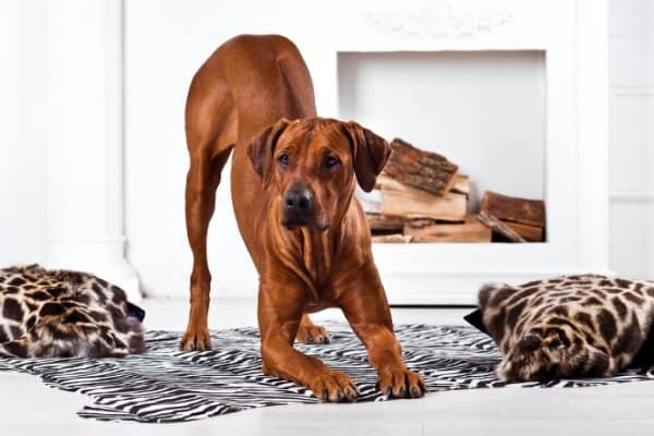 Rhodesian Ridgeback in a playful stance in front of white fireplace.