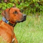 Are Rhodesian Ridgebacks Dangerous?