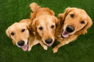 Three Golden Retrievers sitting on grass looking up with happy faces.