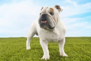 White English Bulldog standing on thick, green grass against a blue sky.