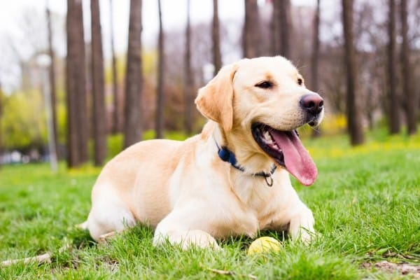 Yellow Labrador Retriever relaxing with his tennis ball with woods in the background.
