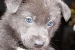 A Blue Bay Shepherd puppy with blue eyes.