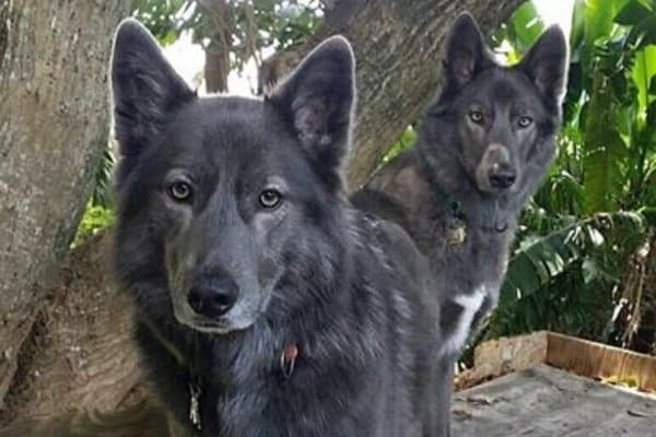 A pair of Blue Bay Shepherds posing in front of a tree.