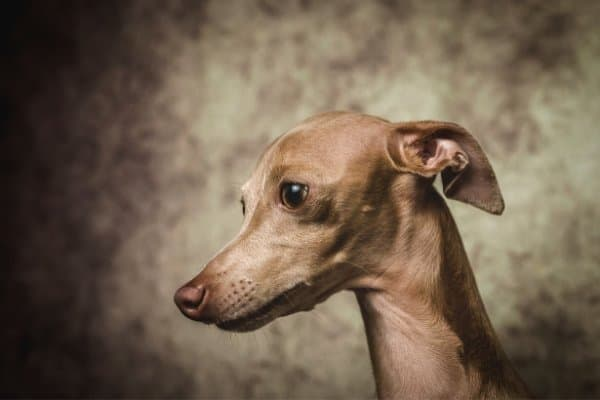 Fawn Italian Greyhound against a mottled brown background.