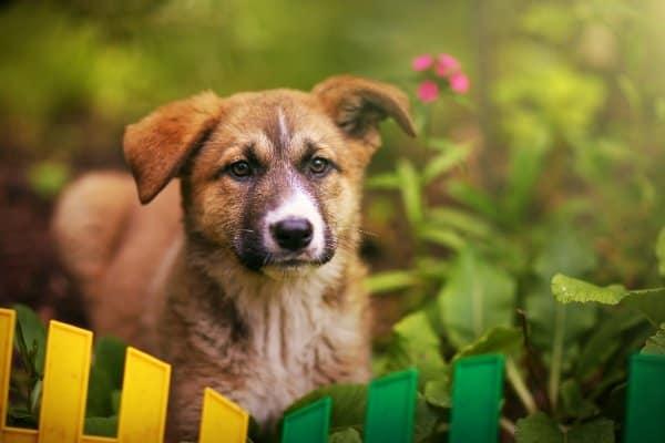 Golden Retriever German Shepherd mix puppy standing in a garden.