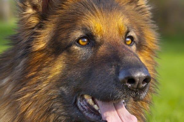 Head shot of a Golden Retriever German Shepherd mix.