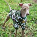 What Colors Do Italian Greyhounds Come In?
