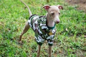 Little Italian Greyhound wearing a camouflaged shirt.