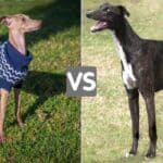 Italian Greyhound Vs. Greyhound - Similarities & Differences