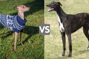 Italian Greyhound in a blue sweater and a dark brindle Greyhound.