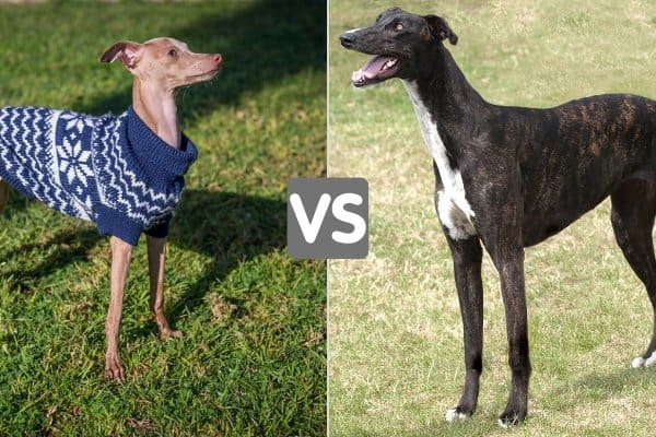 Italian Greyhound in a blue sweater and a dark brindle Greyhound.
