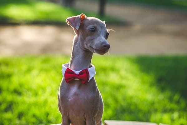 An Italian Greyhound wearing a red bow tie and sitting on an outdoor table.