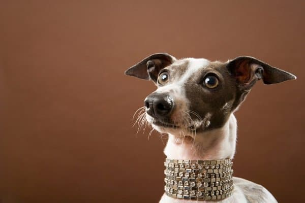 Italian Greyhound wearing rhinestone collar.