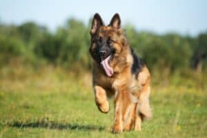 Shiloh Shepherd jogging through a grassy field with trees in the background.