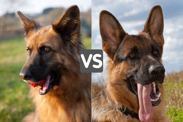 Side-by-side head shots of Shiloh Shepherd and German Shepherd.