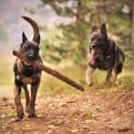 Fun Belgian Malinois Facts